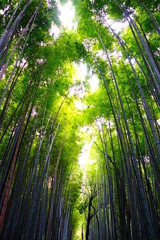 La forêt de bambou de Kyoto se trouve non loin du centre de Kyoto mais il faut prendre le bus pour y aller photo blog voyage tour du monde https://yoytourdumonde.fr