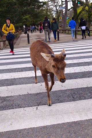 Les daims et cerfs au Japon prennent le passage clouté du coté de Nara. Photo blog voyage tour du monde https://yoytourdumonde.fr