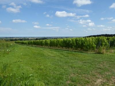 wijngaard Heuvelland - vignoble à Heuvelland - vineyard Heuvelland ©YRH2016