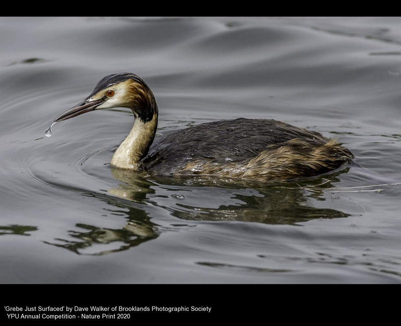 Brooklands Photographic Society_Dave Walker_Grebe Just Surfaced