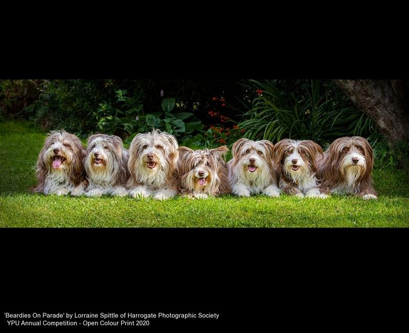 Harrogate Photographic Society_Lorraine Spittle_Beardies On Parade