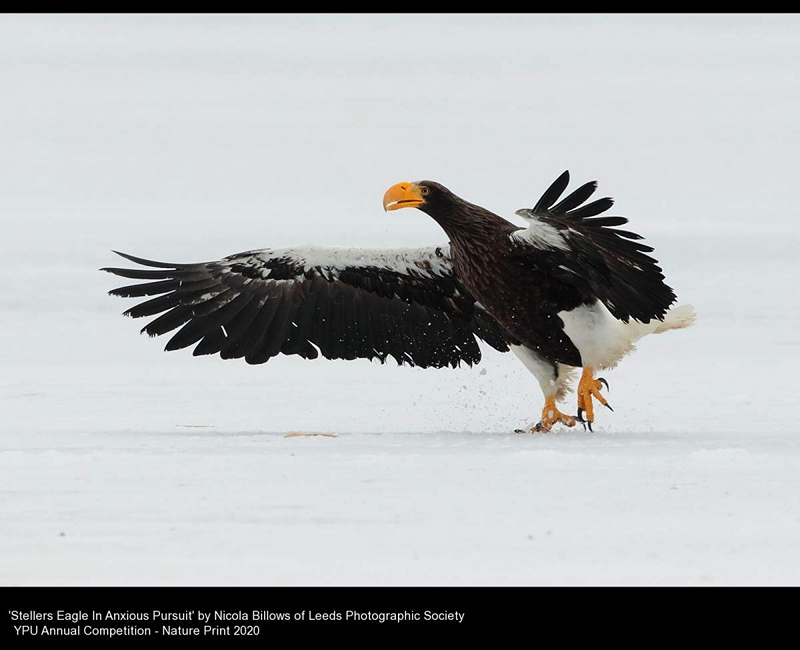 Leeds Photographic Society_Nicola Billows_Stellers Eagle In Anxious Pursuit