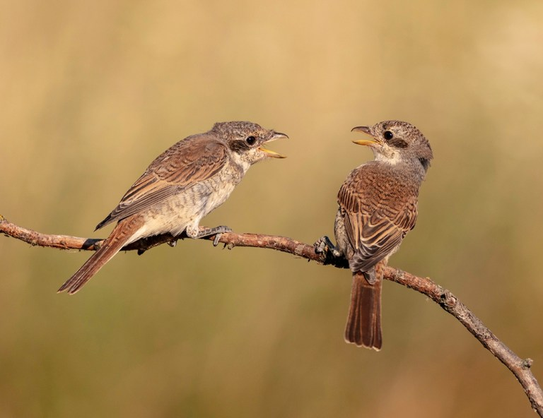 DONC22725_Roy Packer_Red Back Shrike Dispute_800px