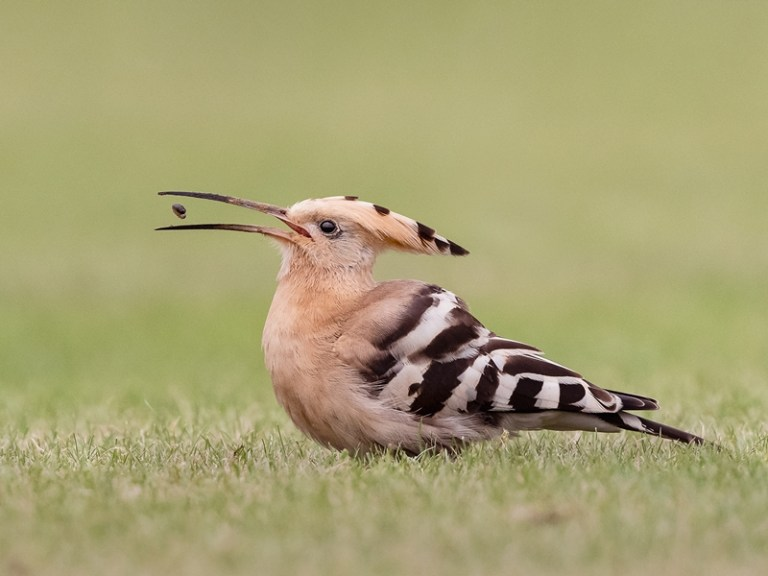 PUDS22986_Kirsty McLeod_Hoopoe with Grub_800px