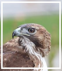 halcon-rojo-horscopo-indio-o-nativo-americano