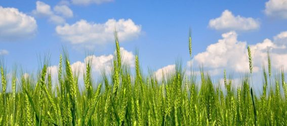 barley, aviv, calendar, harvest,