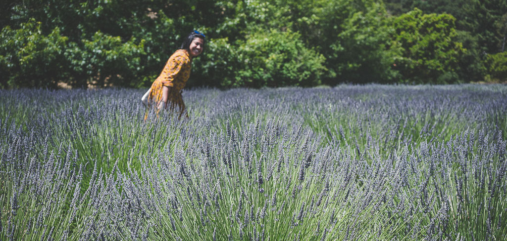 Lavender fields in USA, lavender farms in USA, where to see lavender fields and farms in USA