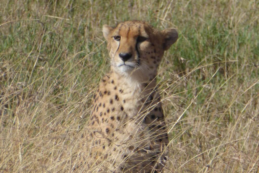 serengeti cheetah, serengeti plains