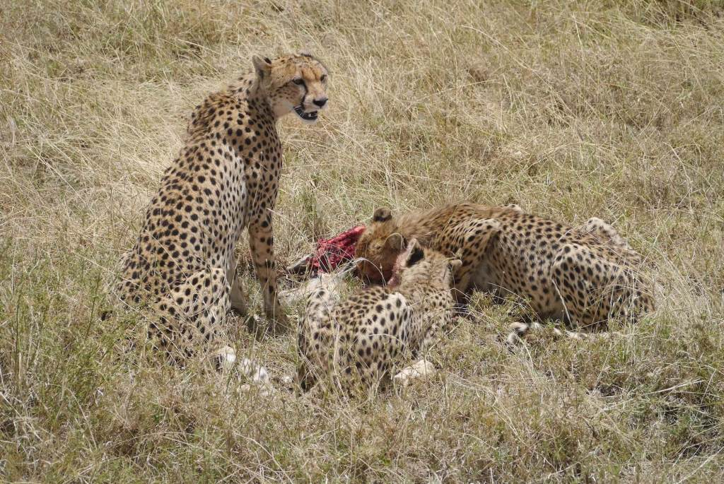 Serengeti cheetahs feeding, cheeta family