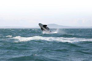 orca-flickr-Jon-Attfield