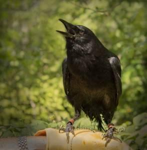 Winston, an American Crow