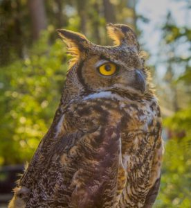Chester the Great Horned Owl.