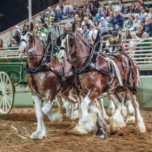The beautiful draft horses compete with elegance and power while pulling carriages, working farm equipment, working side-by-side on a hitch, and completing intricate maneuvers at the Draft Horse Classic and Harvest Fair, September 22 – 25, at the Nevada County Fairgrounds. Credit:David Wong Photography