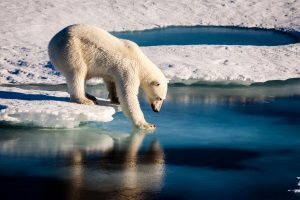 A polar bear tests the strength of thin sea ice. Credit: Mario Hoppmann, via imaggeo.egu.eu