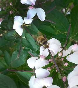A honey bee forager collecting nectar from a cleome flower. Bees make honey from nectar. They also collect pollen, which they convert into bee bread. Credit: Kirsten S. Traynor