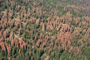 Aerial detection survey photo of dead and dying trees on the Sequoia and Sierra National forests, August 2016. USFS photo