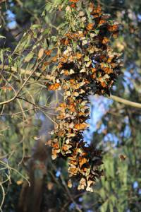 Monarch clusters can be beautiful to behold. Photo: The Xerces Society / Candace Fallon