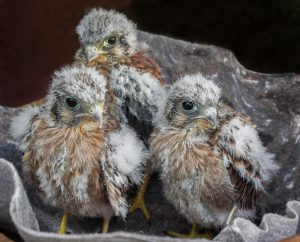 Baby Kestrels from Yuba County that fell out of their nest. Photo Ann Westling