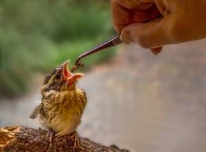 Orphaned baby Black-headed Grosbeak being fed. Photo: Ann Westling