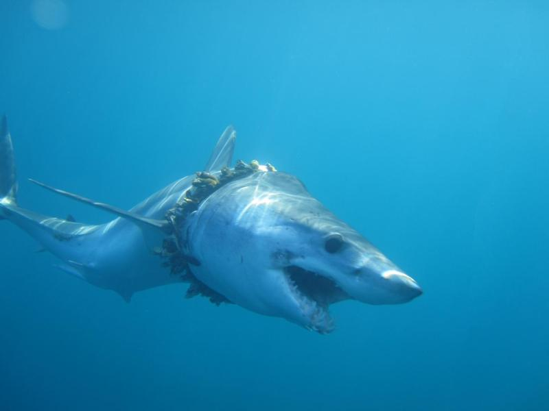 An adult shortfin mako shark entangled in fishing rope (biofouled with barnacles) in the Pacific Ocean, causing scoliosis of the back. Photo credit: Daniel Cartamil