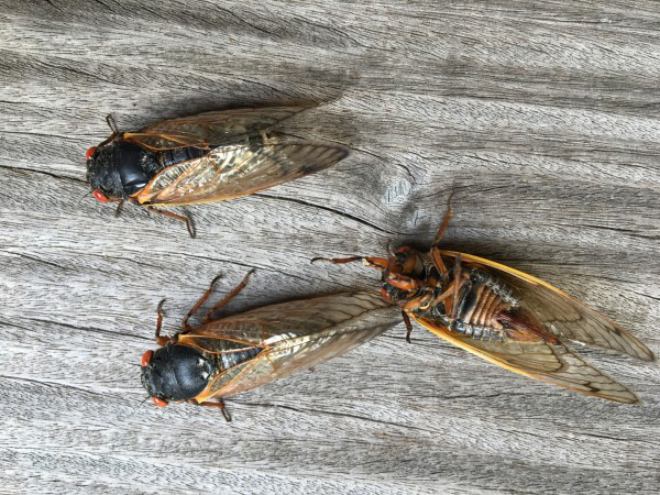 Within 12 hours, the cicadas take on the black and orange look that you see here. Even though they are now adults, these cicadas are still pretty awkward and often fall or accidentally flip themselves over.