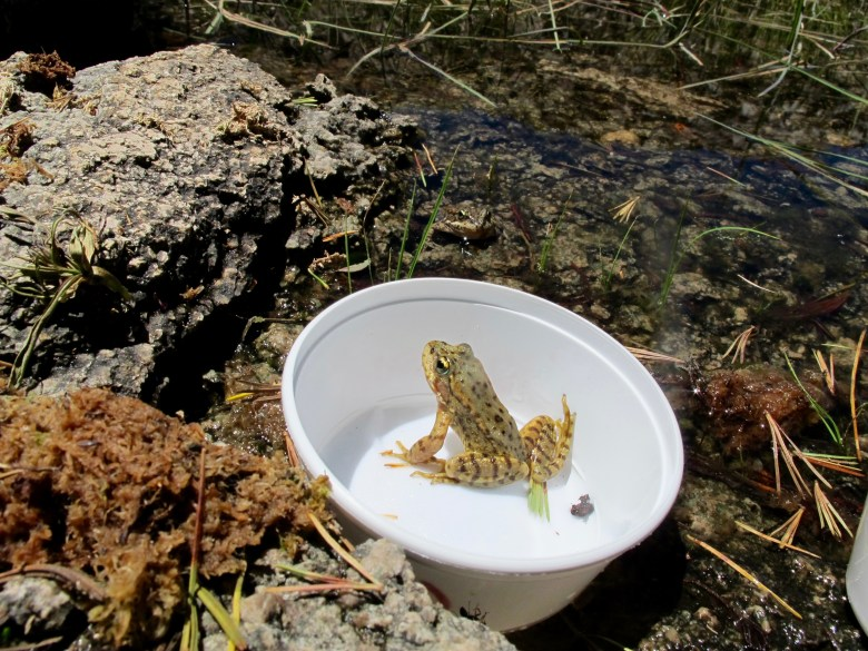 Oakland Zoo has three yellow-legged frog release programs: Sierra Nevada, Mountain, and Foothill yellow-legged frogs