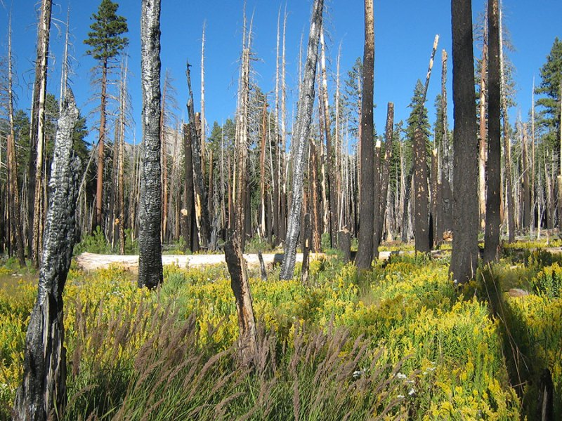 A high severity fire created this patch of wet meadow that is now filled with wild flowers. (UC Berkeley photo by Scott Stephens)