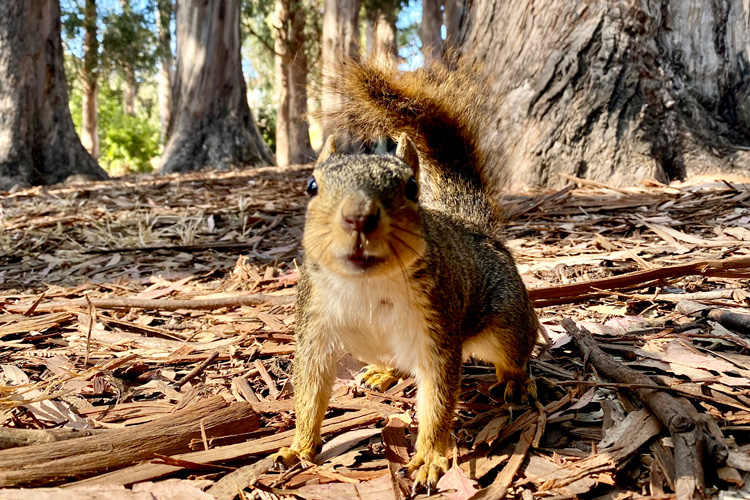 Fox squirrels in UC Berkeley's eucalyptus grove were eager to participate in experiments for peanut rewards.