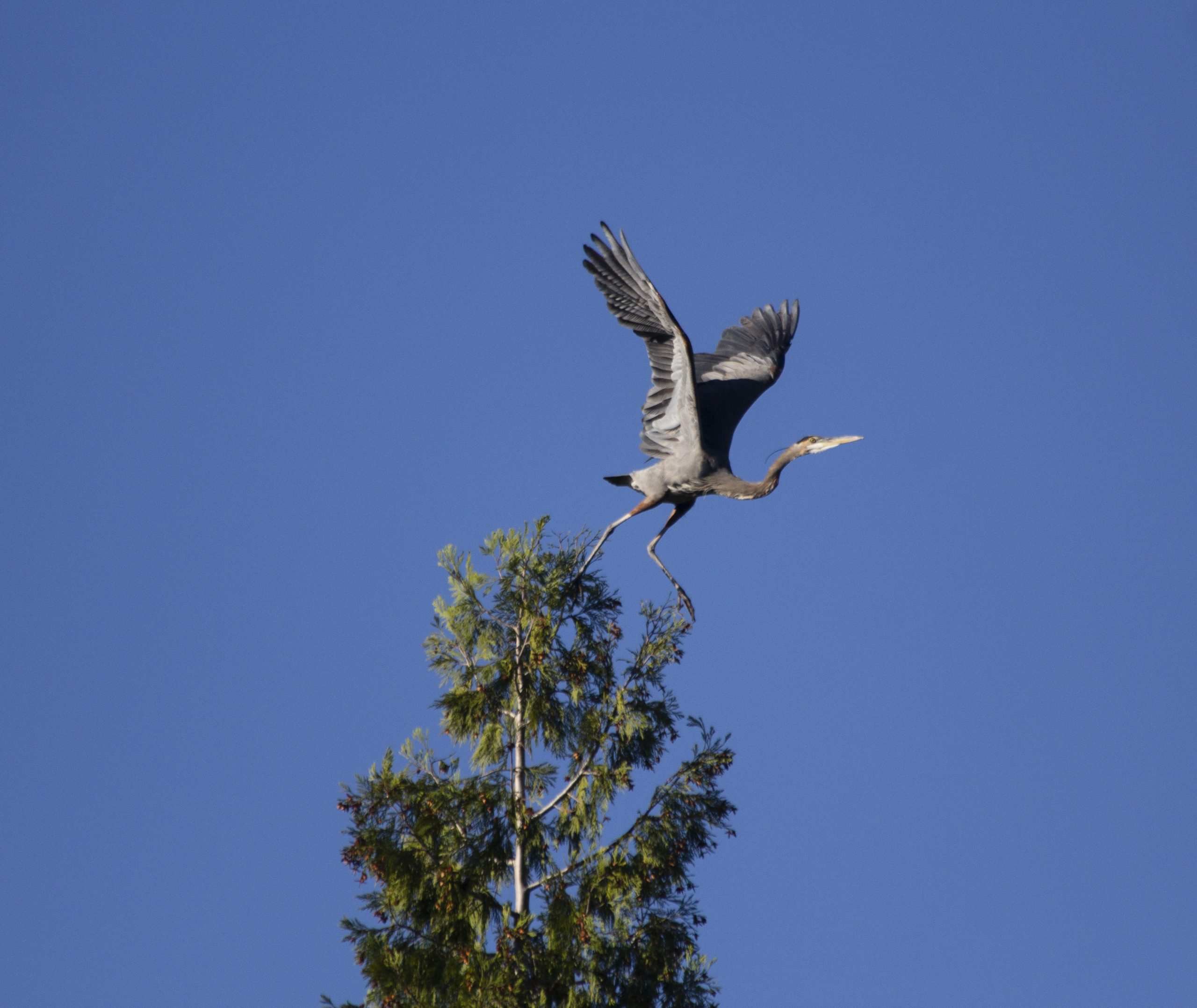 Great Blue Heron taking flight.