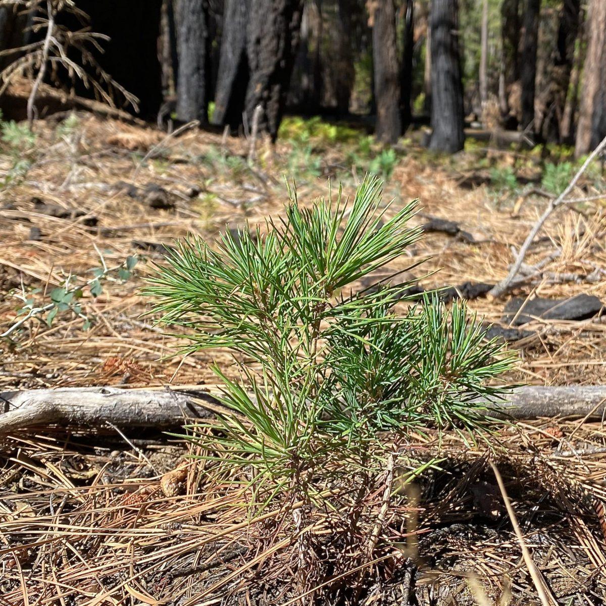 sugar pine seedling