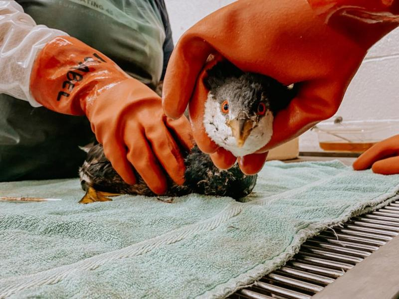 An oiled grebe receives a pre-treatment before being washed on Oct. 9 by members of the Oiled Wildlife Care Network, a program led by UC Davis. (OWCN, UC Davis)