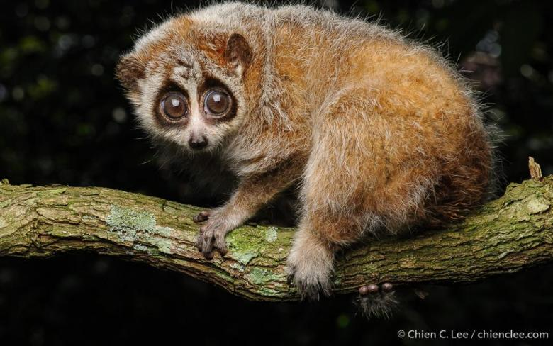 Pygmy slow Loris (Nycticebus pygmaeus) (Vietnam), a small mammal threatened by the illegal or unsustainable wildlife trade. Photo: Chien Lee.