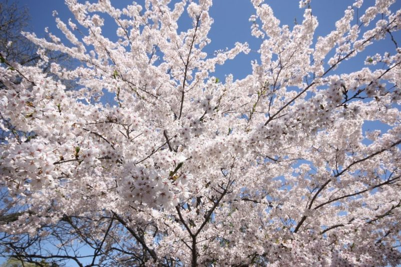 Image of a blooming, pale white cherry blossom tree from a low angle by MCanada from Pixabay