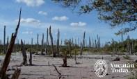 Celestun bosque petrificado