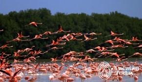 Celestun flamingos
