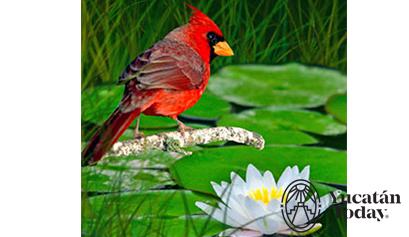 Cardenal y flor de loto