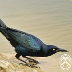 Cherie's Bird of the Month: Great-tailed Grackle