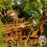 Cherie's Bird of the Month: Tropical Mockingbird