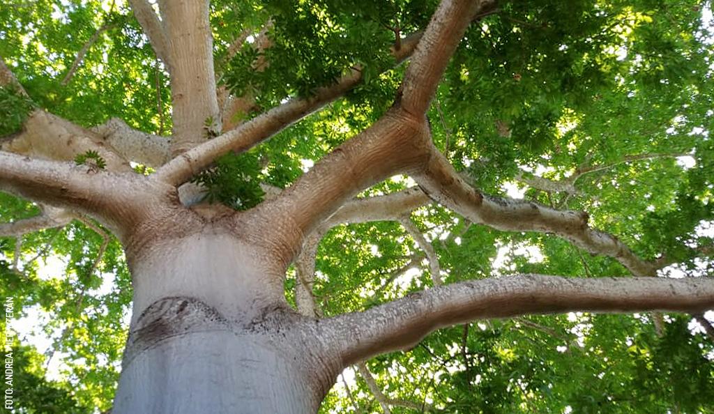 La Ceiba: Sacred Maya Tree