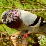 Cherie's Bird of the Month: Rock Pigeon, Part 2