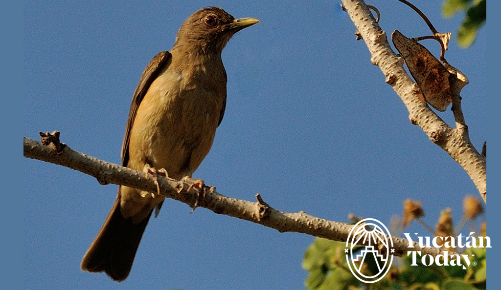 Cherie's Bird of the Month: Clay-Colored Thrush
