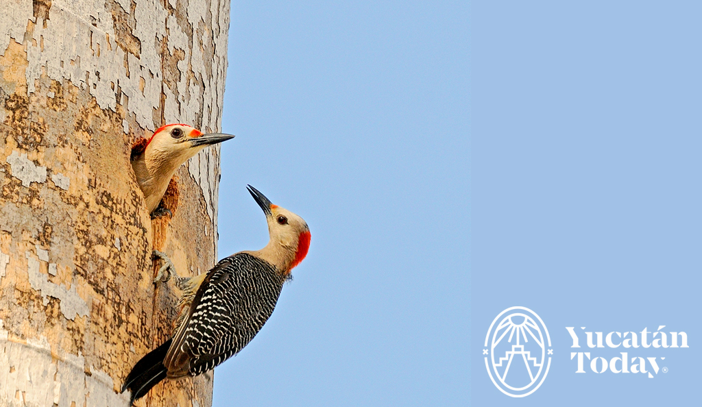 Cherie's Bird of the Month: Golden-fronted Woodpecker