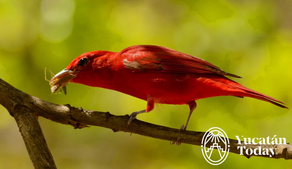 El Ave del Mes: Tángara Rojo