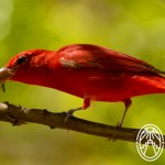 Cherie's Bird of the Month: Summer Tanager