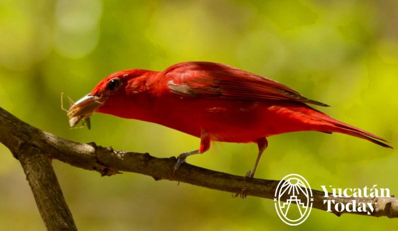 tangara-rojo