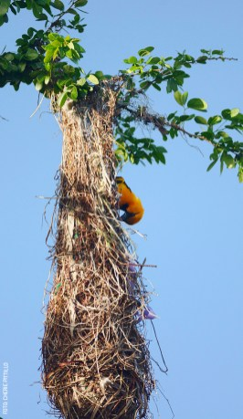 Altamira-Oriole-at-nest-entrance-by-Cherie-Pittillo-01