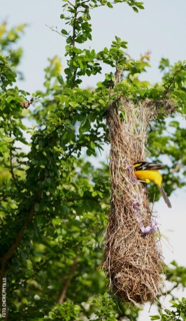 Altamira-Oriole-enters-nest-by-Cherie-Pittillo