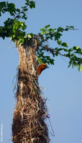 Altamira-Oriole-nest-entrance-by-Cherie-Pittillo