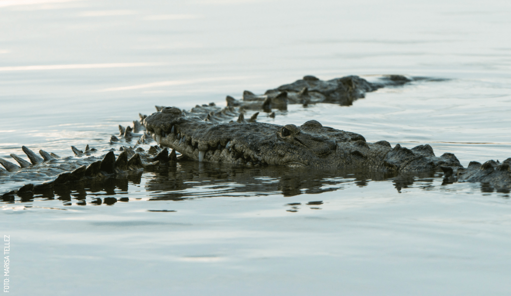 Crocodile Courtships in Yucatán