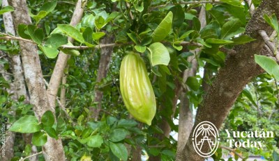 Aventuras culinarias Yucatán Pepino Kat Chaya